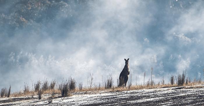 Photo of an eastern grey kangaroo with smoke behind